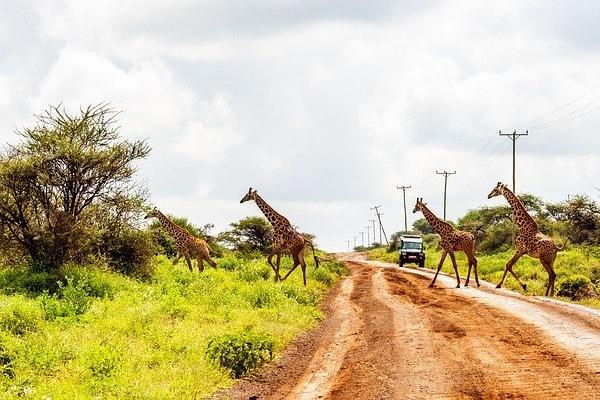 Giraffes Amboselli in Kenya
